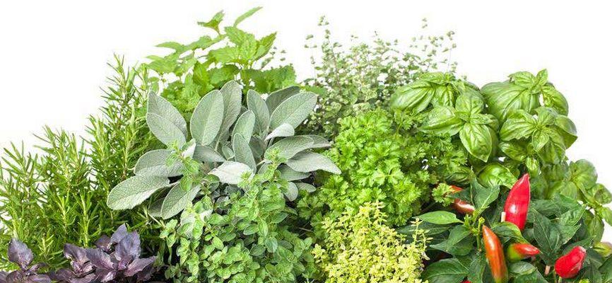 températures herbes aromatiques